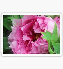 Pink April Tree Peony Sticker