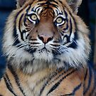 Tiger, Taronga Zoo by chriso