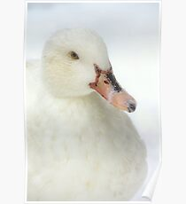 White duck in the snow Poster