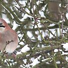 Jay in the branches by Catherine Brookes