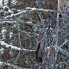 Great Gray Owl on a Snag by AriasPhotos