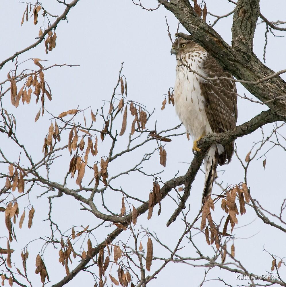 Cooper's Hawk by KathleenRinker