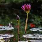 Waterlily Glow by Bob Hardy