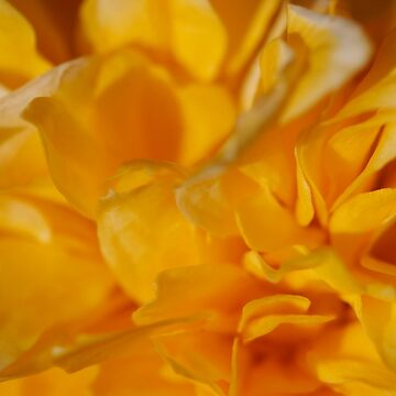 Yellow Rose Of Sharon by suddath