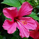 Hot pink Hibiscus by Marjorie Wallace