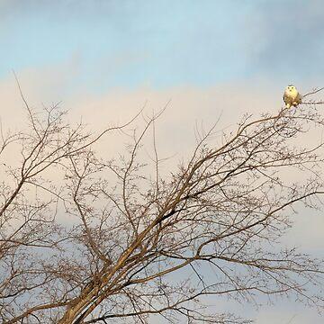 Snowy Owl tale of tenacity (video in description) by locustgirl