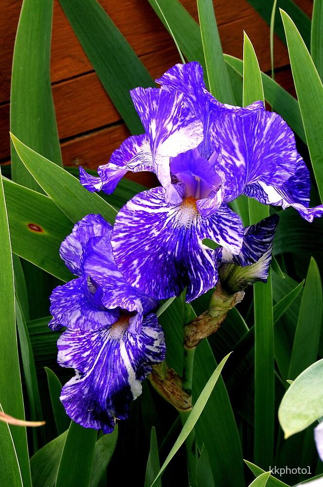 Multi-colored Iris by kkphoto1