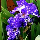 Multi-colored Iris by kkphoto1