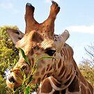 Giraffe by dozzam
