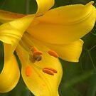 Golden glory by Heather Thorsen