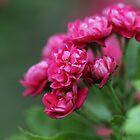 Red Hawthorn by cuprum