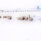 A FLOCK OF SHEEP IN A BLACK AND WHITE WORLD by Johan  Nijenhuis