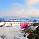 pink rose by DaveButt