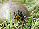 Box Turtle on the Move by FrankieCat