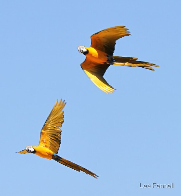 Macaws in flight by Kathleen South
