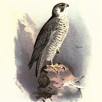 Familiar wild birds Swaysland 1883 V2 159 Peregrine Falcon by wetdryvac