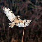 Owl Landing by David Friederich