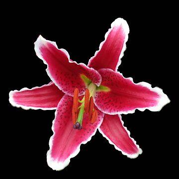 Looking Down - Beautiful Stargazer Lily on Black Background by SunriseRose