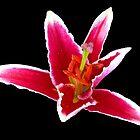Dancing Stargazer Lily on Black Backgrund by SunriseRose