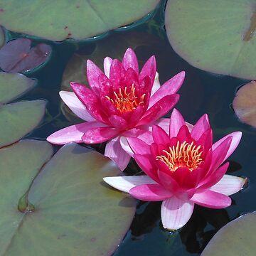 Deep Pink Water Lilies by SunriseRose