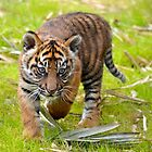 Tiger Cub on the Move by richardbryce