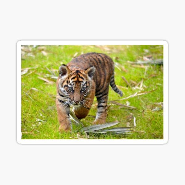 Tiger Cub on the Move Sticker