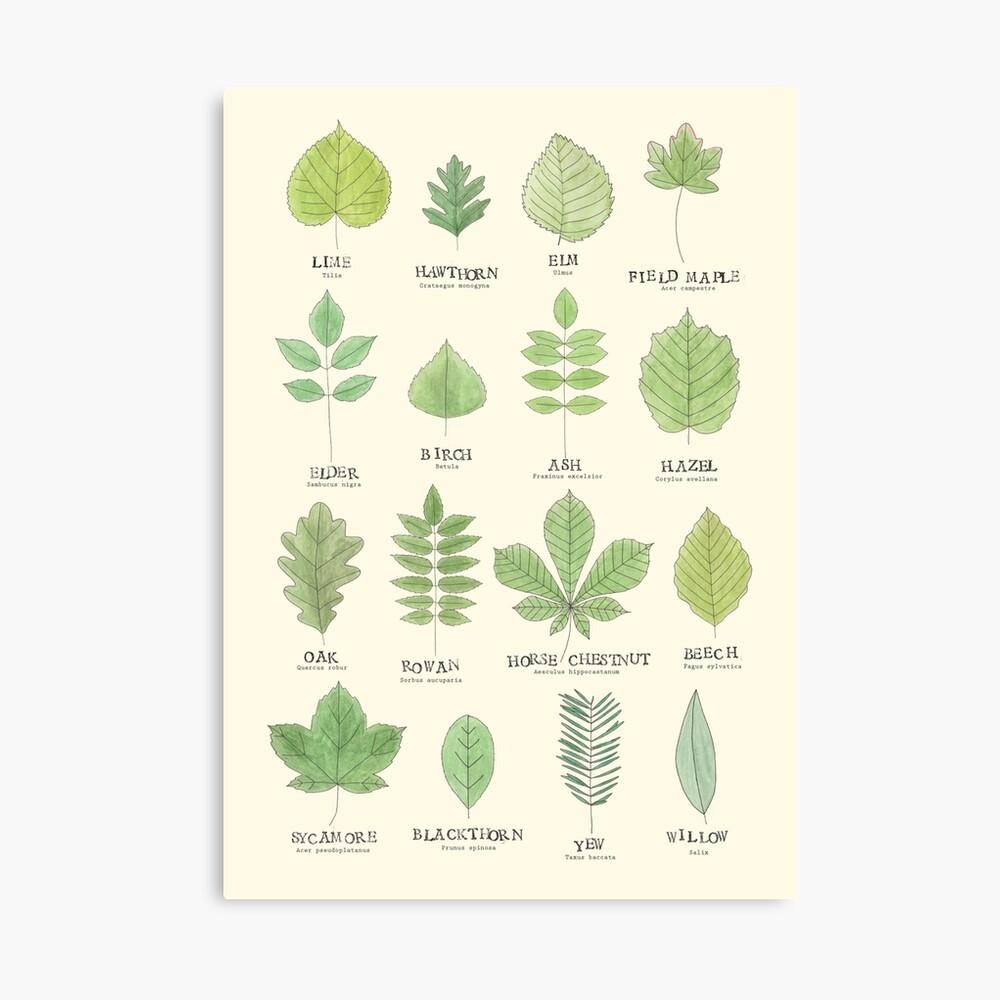 Leaf ID Chart Canvas Print