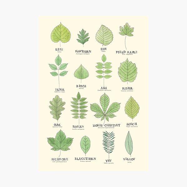 Leaf ID Chart Photographic Print