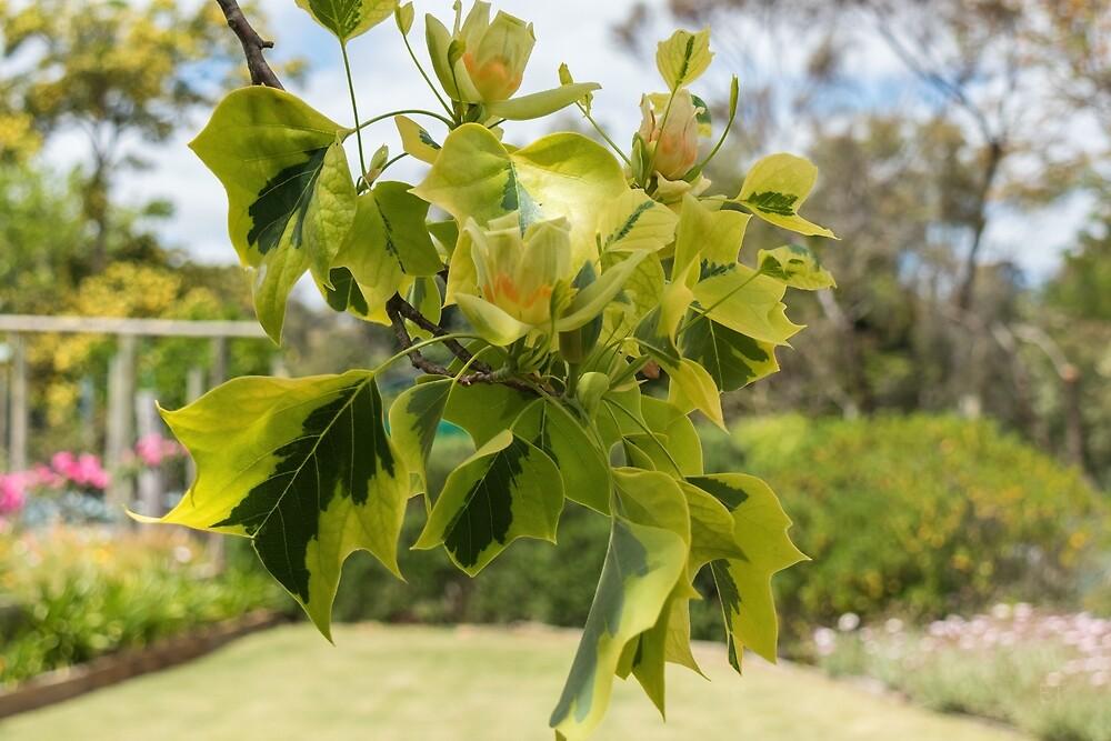 Tulipfera Tree (Liriodendron Tulipifera 'Aureomarginatum') by Elaine Teague