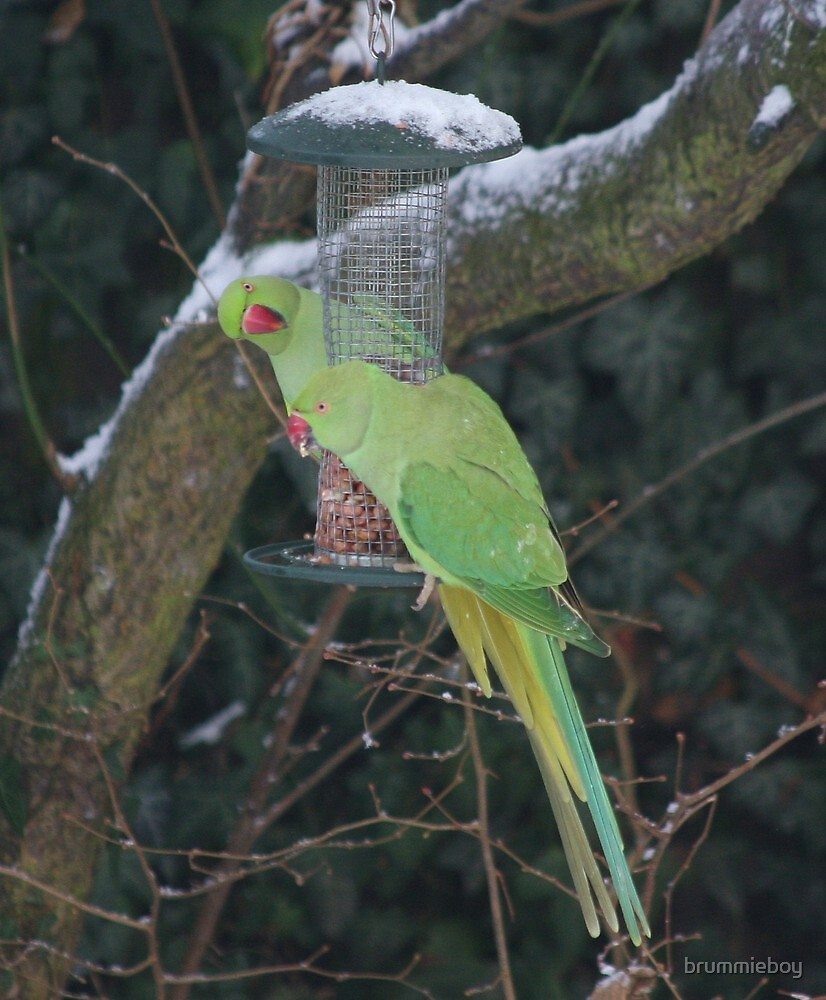 Wild parrots in the snow by brummieboy