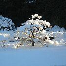 Winter Acer by Harri