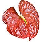Red Anthurium by Marlene Hielema