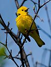 Male Yellow Warbler Singing -  Ottawa, Ontario - 2 by Michael Cummings