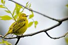 Female Yellow Warbler -  Ottawa, Ontario by Michael Cummings