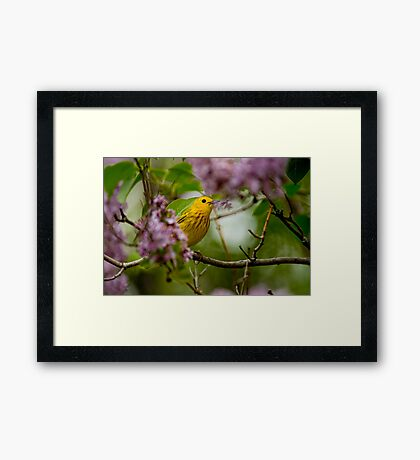 Male Yellow Warbler in Lilacs -  Ottawa, Ontario Framed Print