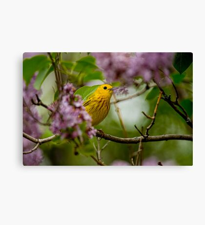 Male Yellow Warbler in Lilacs -  Ottawa, Ontario Canvas Print