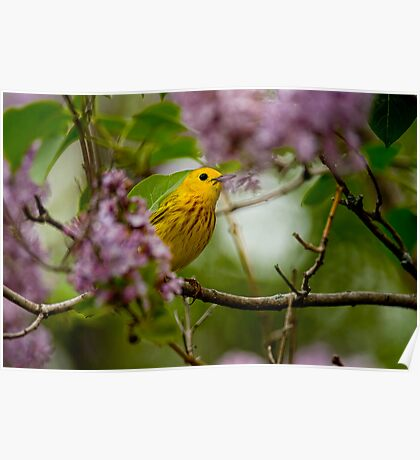 Male Yellow Warbler in Lilacs -  Ottawa, Ontario Poster