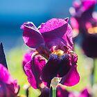 Irises by Svetlana Korneliuk