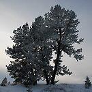 Ponderosa Pine in Evening Winter Light by Janet Houlihan