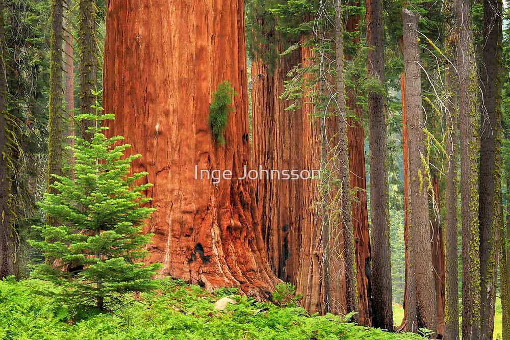 Sequoia Grove by Inge Johnsson