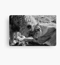 Beautiful Lions B&W Canvas Print