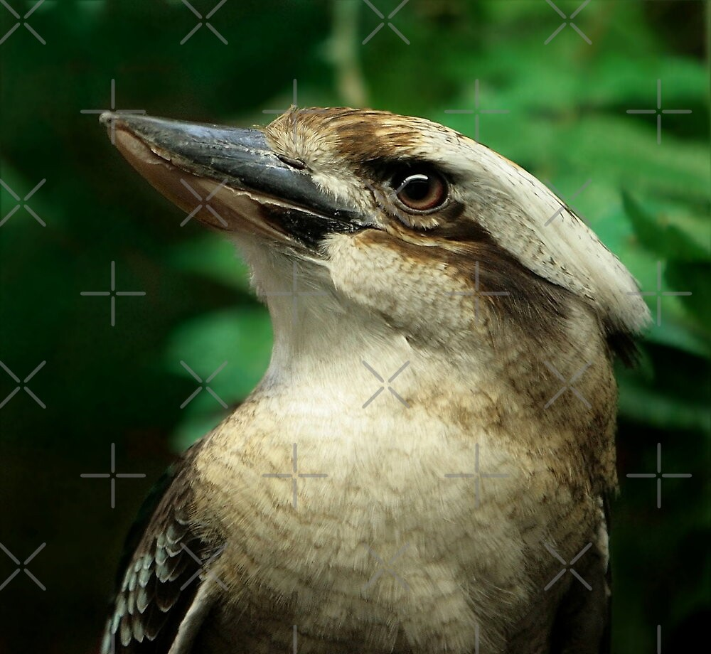 Kookaburra Portrait by Lisa G. Putman