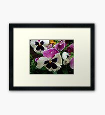 multi-colour pansies Framed Print