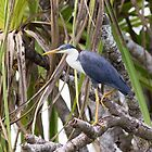 Pied Heron by mncphotography
