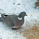 Wood Pigeon by Robert Abraham