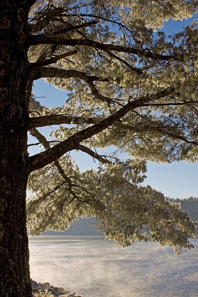Crystal leaved Pine by Karen Kaleta