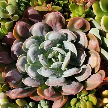 Echeveria raindrops  by 25vintageplace