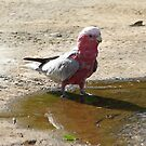 Galah by gillyisme53
