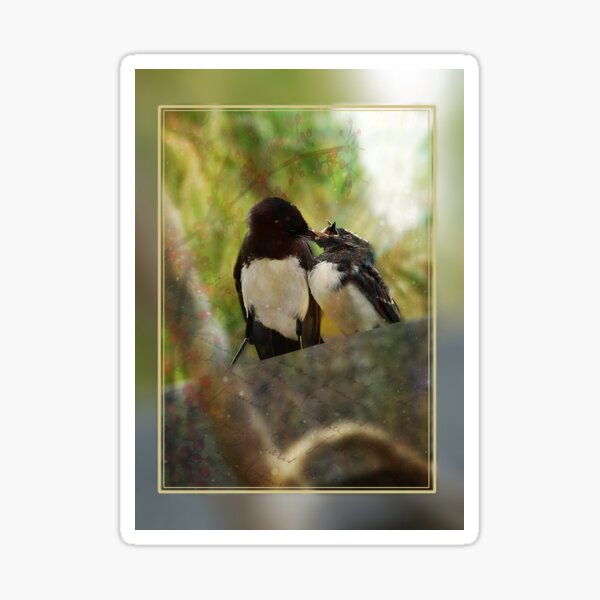 Willy wagtail feeding baby Sticker