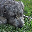 Young Wolfhound by Claire  Farley